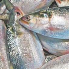 Hilsha Fish Whole (1000 gm -1190gm)