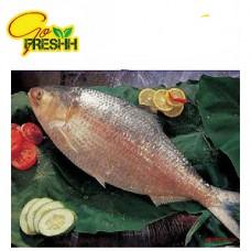 Hilsha Fish Whole